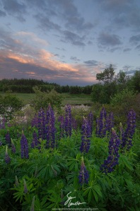 Lupins at Raspberry Point 2 web