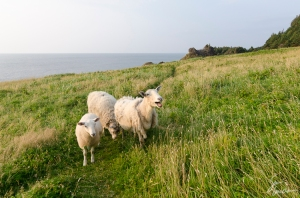 A traditional style of sheep farming in nearby Trout River includes allowing sheep to graze along the coastal grasslands.