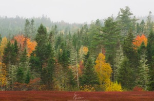 A multitude of colors ranging from dark green conifers to bright orange maples.  The foreground is a blueberry field.