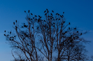 crows vic park web-3