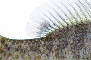 An identifying characteristics of the bluegills is a black dot posterior on the dorsal fin.