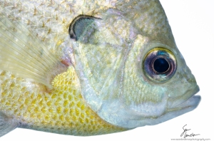 The front end of a bluegill (Lepomis macrochirus).  YOU MUST CLICK THIS IMAGE OR ELSE!  Really have to see it BIG to appreciate some of the details, right down to the individual chromatophores!