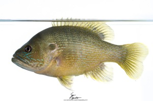 Bull-headed and broad-shouldered, green sunfish (Lepomis cyanellus) are a common fish found in many lakes, ponds, and slow-moving streams throughout the United States.