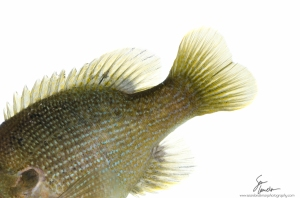 The yellowish fins of a green sunfish.