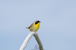 In addition to a major nesting site for double-crested cormorants and great blue herons, Governor's Island is also a stopover for migratory song birds like this common yellowthroat.
