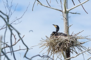 Two cormorant chicks await the return of their parents... and their next meal.