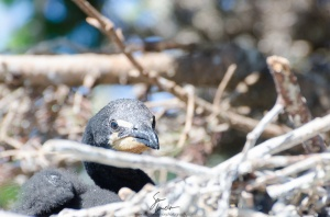 A cormorant chick peers at me from the edge of its nest.