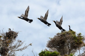 A composite of the same double-crested cormorant taking flight from its nest.