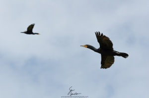 Cormorants aka shags in flight.