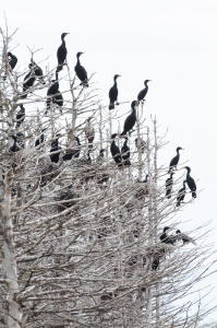 A gathering of cormorants in a stand of dead spruce. The acidic cormorant poop has killed and bleached the trees.