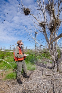 An NCC staffer takes note of several cormorant nests in a dead tree.